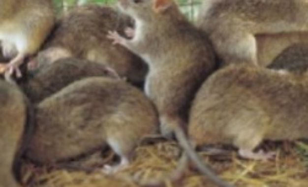 Lassa Fever: Nigeria's death toll reaches 185